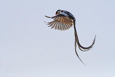 Pin-tailed whydah (Vidua macroura) male in display flight. Allahein River, Gambia.