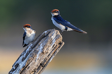 Wire-tailed swallow (Hirundo smithii), two perched on tree snag. Allahein River, Gambia.