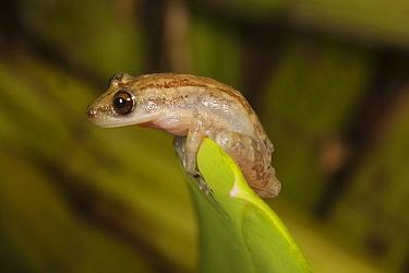 Stauffer's treefrog (Scinax staufferi) at top of leaf, reaching summit. Las Guacamayas Biological Station, Laguna del Tigre National Park, El Peten, Guatemala.