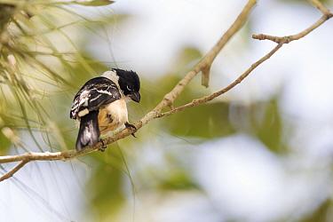 Morelet's seedeater (Sporophila morelleti) perched on branch. Near El Peru / Waka Archaeological Site, Laguna del Tigre National Park, El Peten, Guatemala.