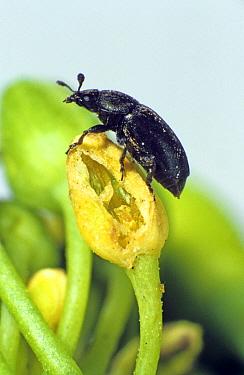 An adult pollen beetle (Meligethes aeneus) on a damaged oilseed rape flower bud