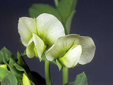 Leaves and white flower with five petals and green venation of a pea (Pisum sativum) crop plant