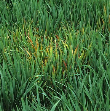 Focus of infection of barley yellow dwarf virus (BYDV), red leaf damage symptoms on young oats crop, Hampshire, England, UK.