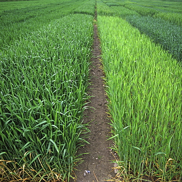 Experimental plots of Triticale (var. salvo) showing normal fertilizer application nitrogen (left) compared with no nitrogen which is shorter, weaker and yellower (right)
