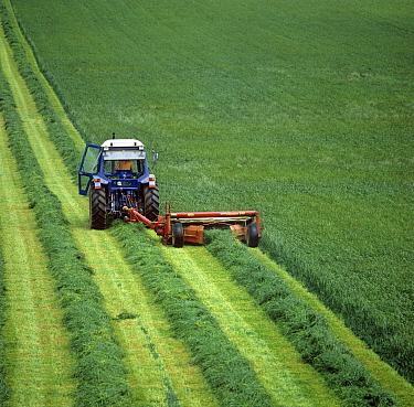 Ford tractor with Vicon Olympus mower mowing lush ryegrass ley in rows to forage for silage, Berkshire, England, UK.