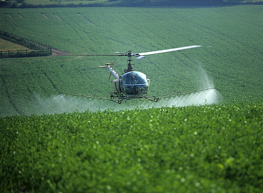 A helicopter with tanks and boom sprayer, flying low and spraying flowering pea crop on a summer morning, Hampshire, England, UK.
