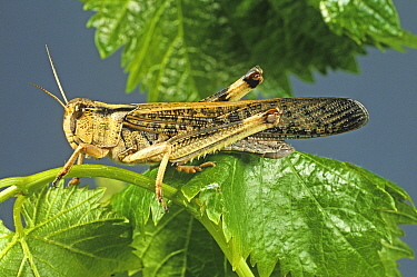 An adult winged migratory locust (Locusta migratoria) agricultural crop pest on a leaf