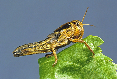 A nymph or hopper of migratory locust (Locusta migratoria) agricultural crop pest on a leaf