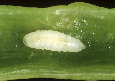 Bladder pod midge (Dasineura brassicae) larva of pest insect in oilseed rape pod