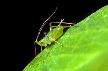 Pea aphid (Acyrthosiphon pisum) apterous adult female pest with long antennae on a pea leaf