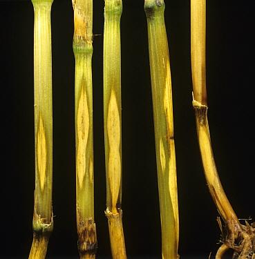 Sharp eyespot (Ceratobasidium cereale) eye-shaped pale lesions of a fungal disease on wheat stem base