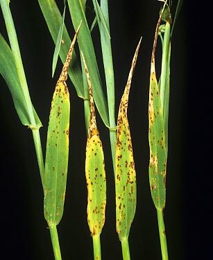 Halo spot (Pseudoseptoria donacis) fungus disease lesions on barley crop leaves
