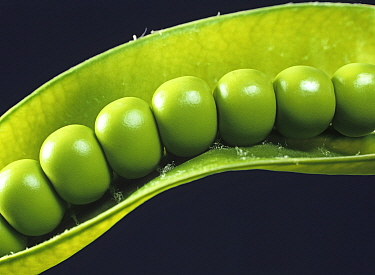Fresh, plump, even tightly packed green peas in the pod at harvest time, Hampshire, England, UK.