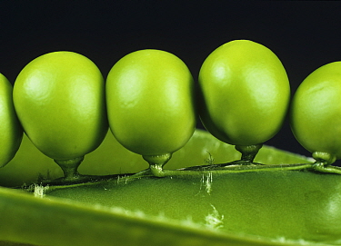 Fresh, plump, tightly packed green peas in the pod at harvest time, Hampshire, England, UK.
