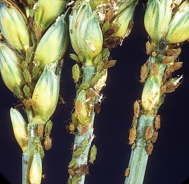 Grain aphid (Sitobion avenae) severe infestion of pest aphids on green unripe ears of winter wheat, England, UK. June