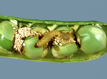 Pea moth (Cydia nigricana) caterpillar with frass and damaged peas in a mature green pea pod