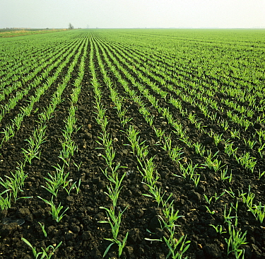 Young seedling barley crop on fenland soil, weed free neat rows of plants, Cambridgeshire Fens, England, UK. November