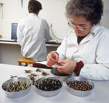 Woman testing cereal seed for viability, germination level and seedling vigour in a quality control laboratory at a agricultural grain merchant