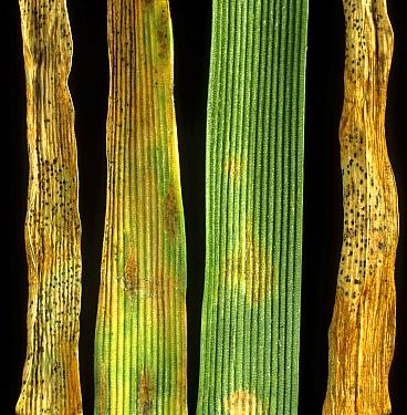 Septoria leaf blotch (Mycosphaerella graminicola) lesions of fungal disease with pycnidia on wheat leaves. England, UK.