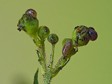 Figwort weevil (Cionus hortulanus) larvae feeding on flowers and buds of common Figwort, Hertfordshire, England, UK, June - Focus Stacked