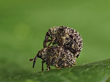 Figwort weevil (Cionus hortulanus) pre mating ritual where male is carried on back of female, Hertfordshire, England, UK, June - Focus Stacked - Captive