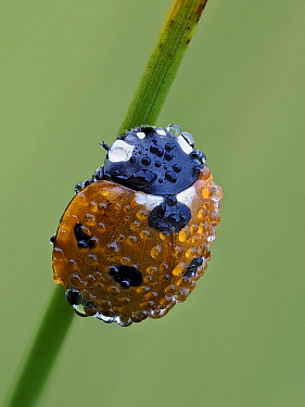 Seven spot ladybird (Coccinella septempunctata) on grass stem at dawn covered in dew, Hertfordshire, England, UK, July - Focus Stacked