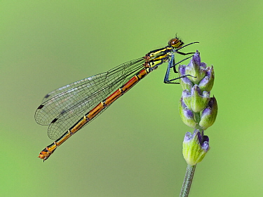 Large red damselfly (Pyrrhosoma nymphula) perched on the bud of a Lavender flower in garden, Hertfordshire, England, UK, April - Focus Stacked
