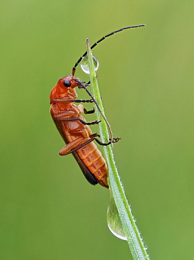 Common red soldier beetle (Rhagonycha fulva) climbing up grass with dew drops, Hertfordshire, England, UK, July - Focus Stacked