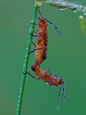 Common red soldier beetle (Rhagonycha fulva) mating pair on grass stem at dawn covered in dew, Hertfordshire, England, UK, July - Focus Stacked