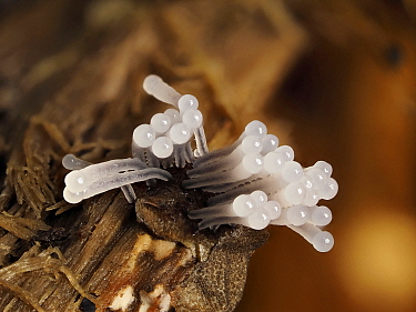 Slime mould (Stemonitis splendens) sporangia growing up from rotting log, Hertfordshire, England, UK, July - Focus Stacked