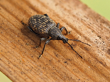 Vine weevil (Otiorhyncus sulcatus) portrait on piece of wood, Hertfordshire, England, UK, July - Focus Stacked