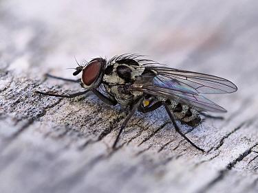Fly (Anthomyia procellaris) male resting on fence, Hertfordshire, England, UK, May - Focus Stacked