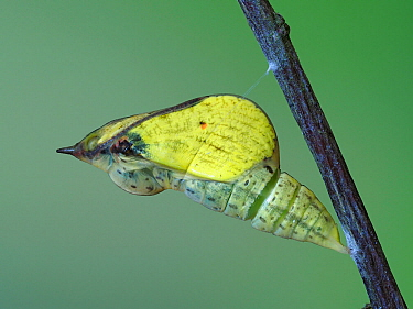 Brimstone butterfly (Goneopteryx rhamni) pupa showing wing colour of Male about to emerge, Hertfordshire, England, UK, May - Captive - Focus Stacked
