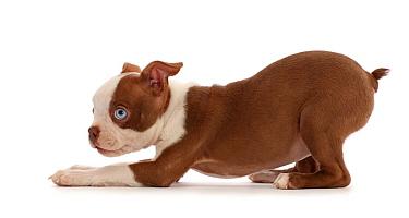 Boston Terrier puppy, age 10 weeks, in play-bow stance.