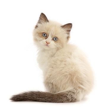 Persian-x-Ragdoll kitten, age 7 weeks, back view, looking over shoulder.