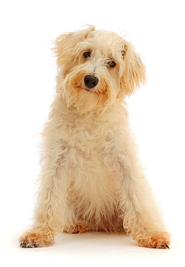 Cream coloured Schnoodle (Miniature Schnauzer x Poodle), age 7 months, sitting.