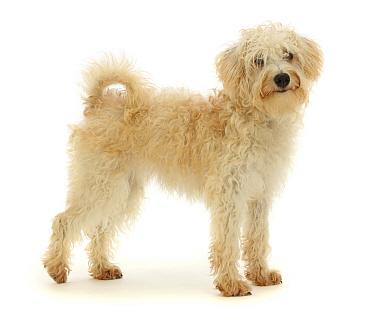 Cream coloured Schnoodle (Miniature Schnauzer x Poodle), age 7 months, standing.