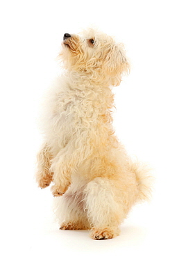 Cream coloured Schnoodle (Miniature Schnauzer x Poodle), age 7 months, standing up on hind legs.