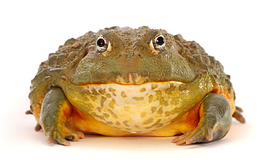 African bullfrog (Pyxicephalus adspersus). Captive, occurs in Africa.