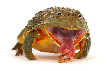 African bullfrog (Pyxicephalus adspersus), taking a mealworm. Occurs in Africa.