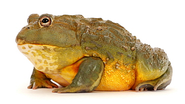 African bullfrog (Pyxicephalus adspersus), occurs in Africa.