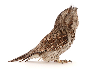Tawny frogmouth (Podargus Strigoides) looking up showing chin. Occurs in Australia.