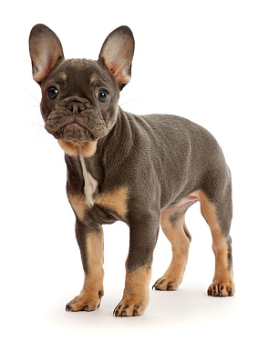 Blue-and-tan French Bulldog puppy standing.
