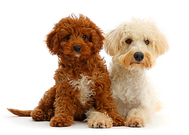 Cream coloured Schnoodle (Miniature Schnauzer x Poodle), age 7 months, and Red Cavapoo puppy, age 3 months, lying down.