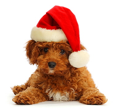 Red Cavapoo puppy wearing a Father Christmas hat.