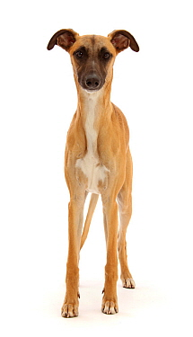 Whippet Lurcher dog, Raffy, standing.