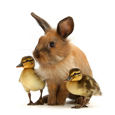 Young Lionhead-Lop rabbit and Mallard ducklings.