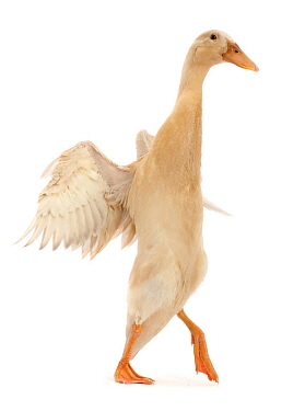 Indian Runner Duck, flapping wings..