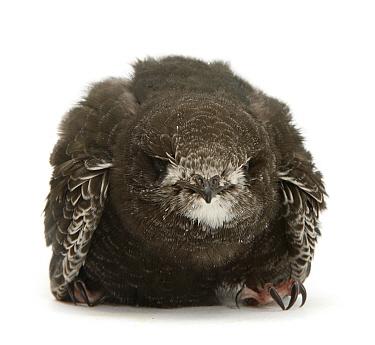 Fledgling Swift (Apus apus) portrait. Captive.