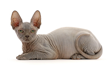 RF - Grey Sphynx kitten, age 11 weeks. (This image may be licensed either as rights managed or royalty free.)